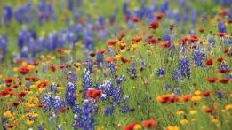 Texas-Wildflowers-710x400