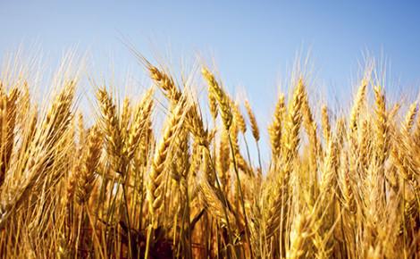 outdoor wheat field yellow spike detail